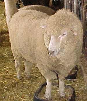 merino sheep produce some of